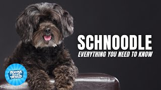 Schnoodle Breed Information  The Guard Dogs of the Poodle Mix World | Schnoodle Dogs 101