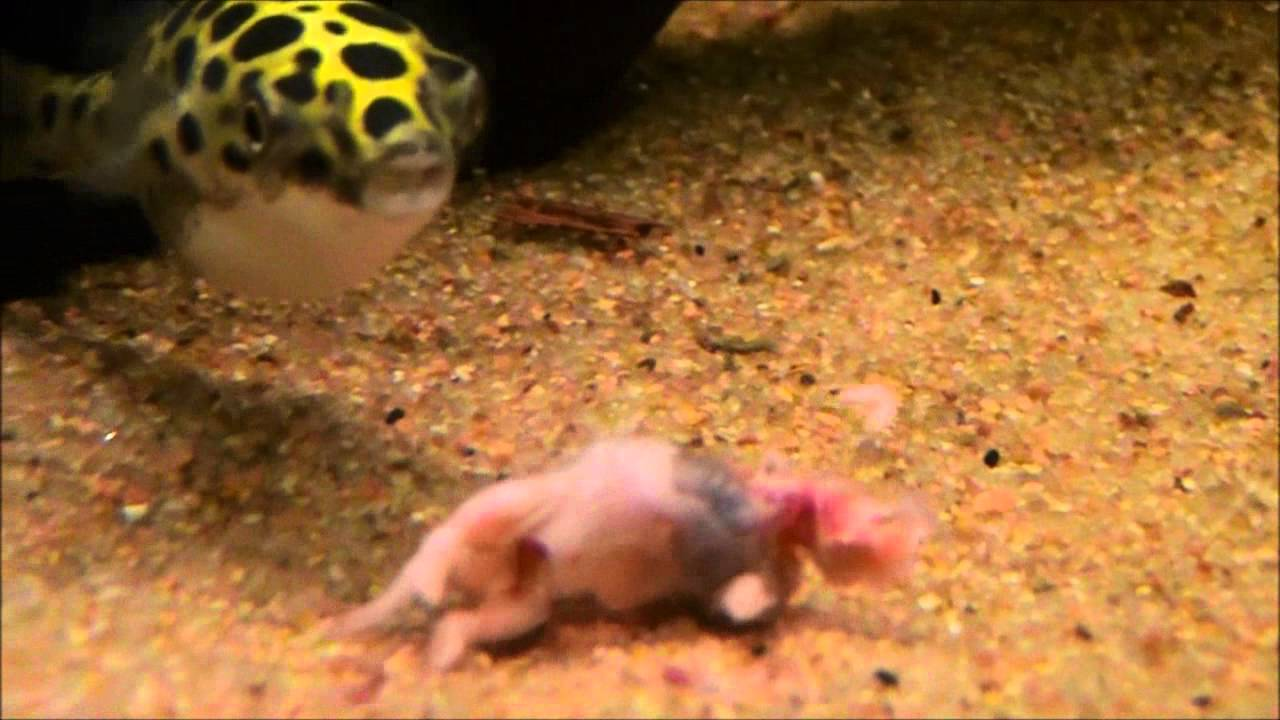 Green spotted puffers eating pinky youtube for Mini puffer fish