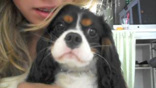 Cavalier King Charles Spaniel Puppy (2010)