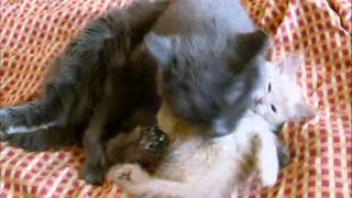 Колыбельная для котят