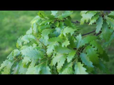 Educational videos on nature (Turkey Oak leaves - April 2017)