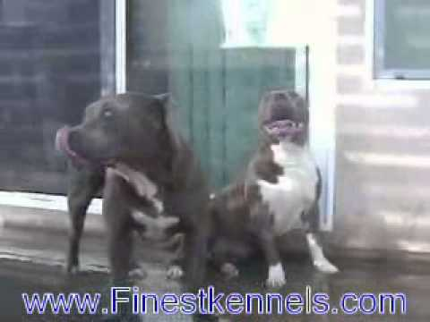 Find Pitbull Puppies For Sale, Finest Kennels