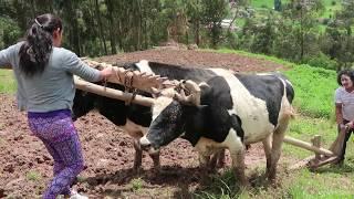 Aprendiendo a trabajar la tierra con una yunta en Ecuador
