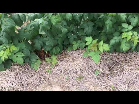 Малина Cascade Delight в д.п. Батькив сад.Обзор на 06.07.17г.