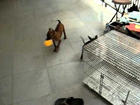 Chó phú quốc - Phuquocdog MVI_2810.AVI