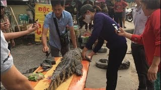 Dân Hà thành đua nhau mua cá sấu nguyên con dài 1,5 mét về nấu đủ món chia cùng hàng xóm