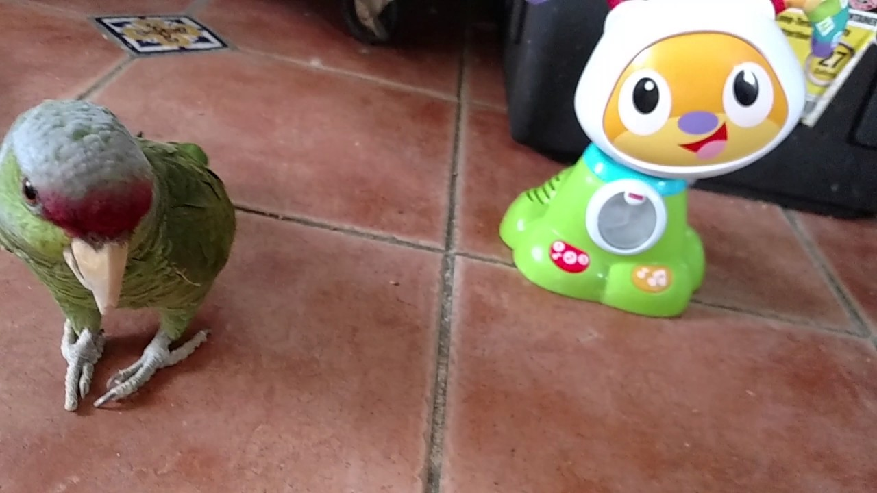 Rescued parrot talking and dancing