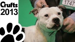 What Makes Staffies So Popular - Frank Kane - Crufts 2013