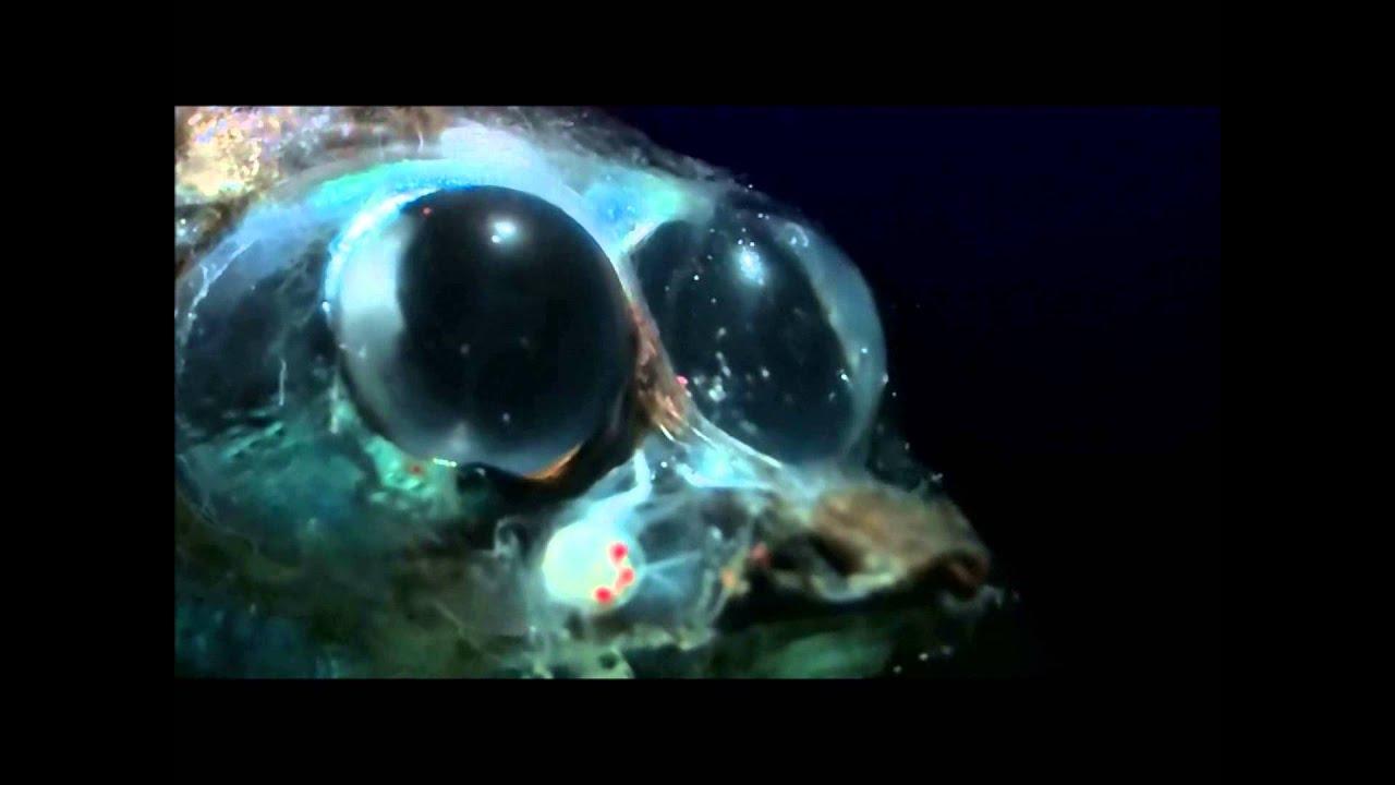 Mesopelagic zone animals youtube for Twilight zone fish