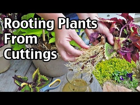 Rooting Plants From Cuttings