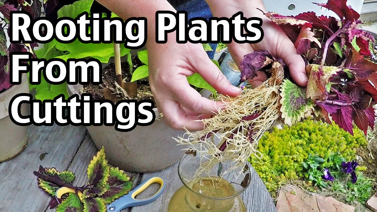 Rooting Plants From Cuttings Youtube