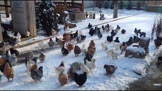 King Pigeons Lots In Snow Movie HD