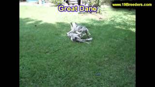 Great Dane, Puppies, For, Sale, In, Billings, Montana, MT, Missoula, Great  Falls, Bozeman