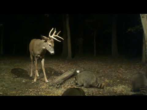 Buck Battling the  Raccoons