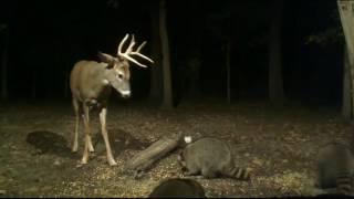 Buck Battling the Raccoons