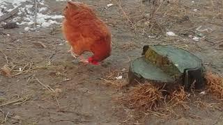 co lepsze kaczka czy kura, kura rodzi jajko
