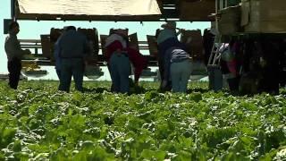 Yuma Lettuce: Disease and Freeze Take a Toll