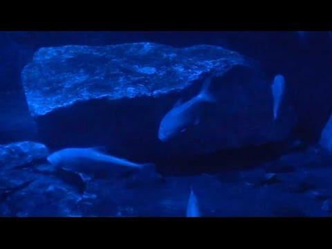 Blind Cave Fish (Astyanax Fasciatus Mexicanus) - Tropical Fish