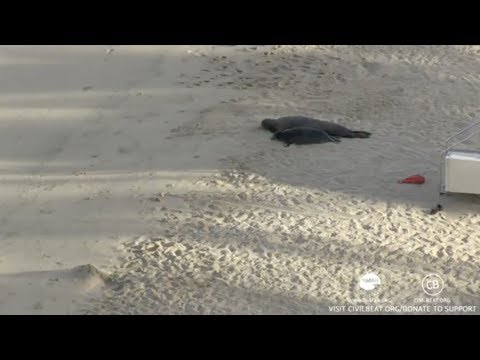 Hawaiian Monk Seals Rocky And Her Pup Kaimana Honolulu, Hawaii Live Cam