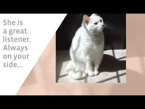 Greensboro Nc Senior F Turkish Angora Cat For Adoption Supplies