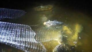 夜の川で投網を投げると寝ている巨大魚が獲れまくる??