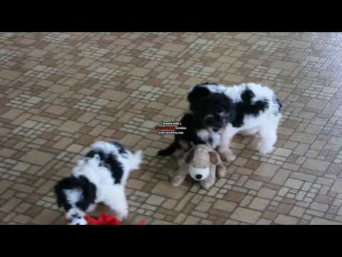 Cavapoo Puppies For Sale Ruth Glick
