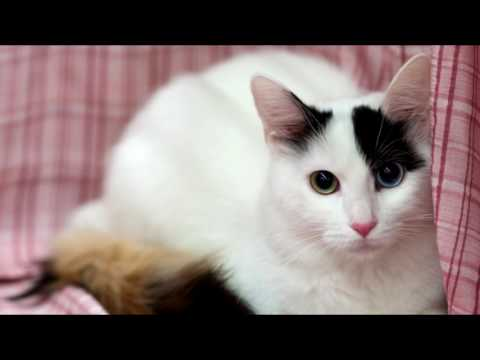 10 Cute Cat Breeds Around The World - Try not to say Aww Challenge