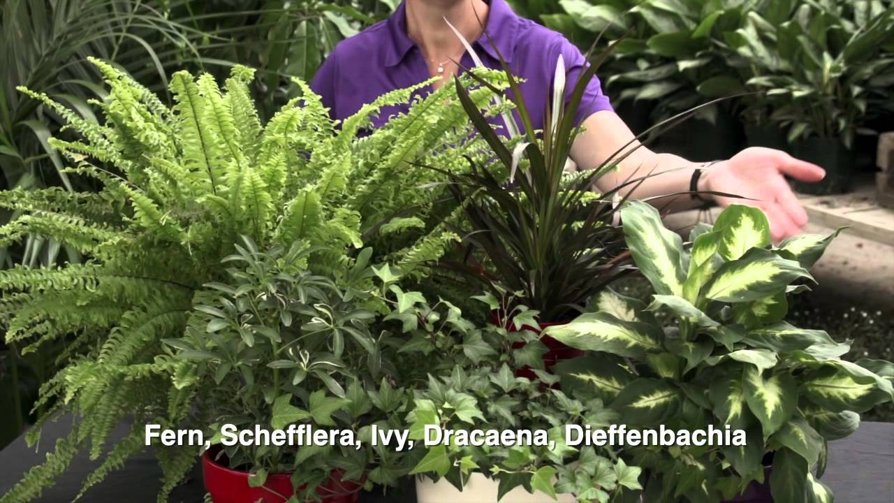 How To Select Care For Indoor Foliage Plants Youtube