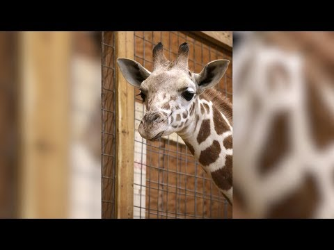 Big Jim - At Work - WATCH: April the Giraffe Ready To Give Birth Again