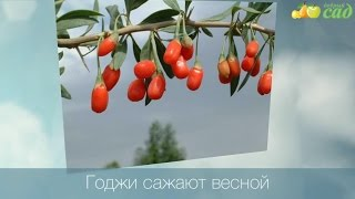 Посадка годжи - как правильно посадить годжи