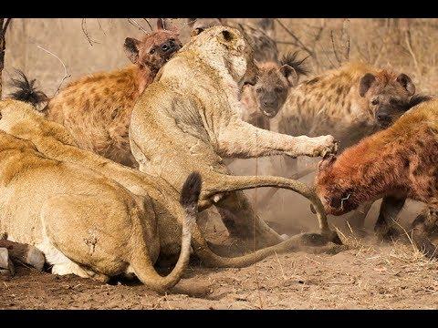 Поле битвы, Хищники Африки (Документальный фильм) - Видео онлайн
