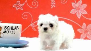Teacup Puppy For Sale,teacup Maltese,chihuahua,shihtzu,pomeranian,yorshire.