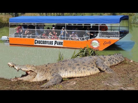 Giant Saltwater Crocodiles In Australia!