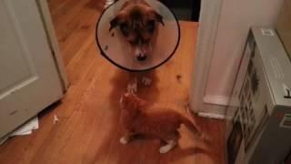Kitten Attacks Dog Wearing Cone