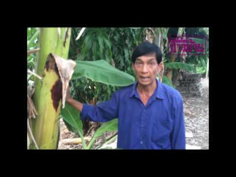 ปลูกกล้วยน้ำว้าอย่างไร ให้ผลโต รสชาติดี