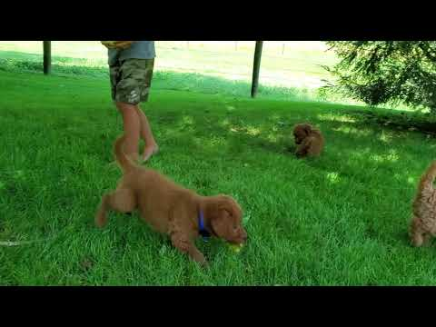 Mini Labradoodle Puppies For Sale!