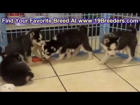 Siberian Husky, Puppies, Dogs, For Sale, In Chicago, Illinois, IL, 19Breeders, Rockford, Naperville