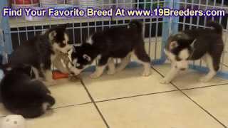 Siberian Husky, Puppies, For, Sale, In, Aurora, Illinois, Il, Moline, Belleville, Lombard, Dekalb, G