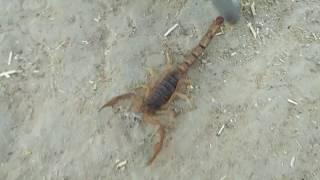 ! brown Bichoo,  scorpion| बिच्छू , प्राणी
