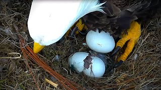 Bald Eagles Romeo & Juliet Welcome Peace to the Nest- Watch the Eaglet Hatch!