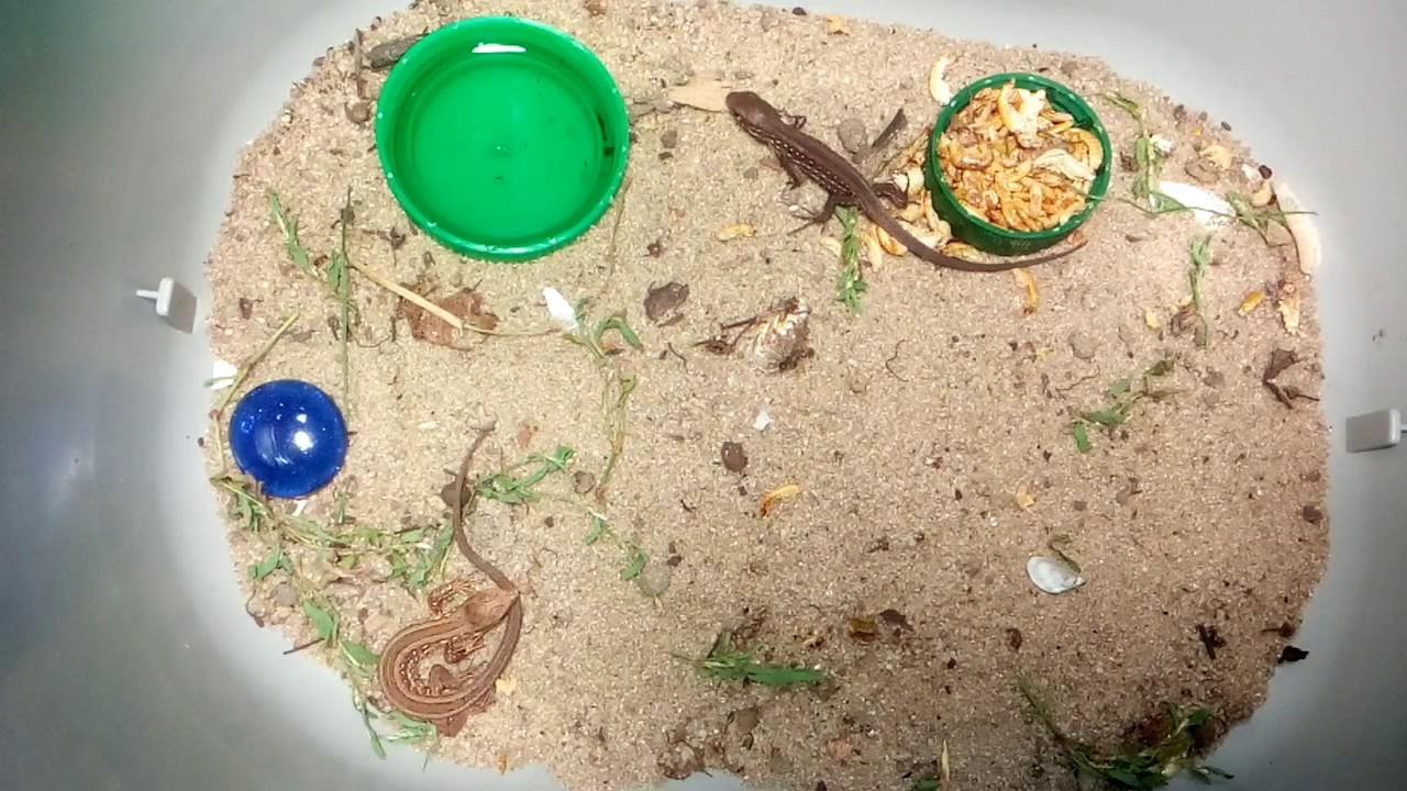 Как ухаживать за маленькими прыткими ящерицами !
