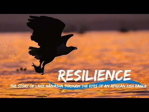 The Resilience Of Lake Naivasha Through The Eyes Of A Pair Of African Fish Eagles.