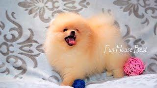 Мини щенок померанский шпиц ТИП МИШКА(, 2016-07-03T14:05:01.000Z)