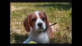 Все породы собак.Биглие ( Бигль + Кинг Чарльз спаниель) (Beaglier)