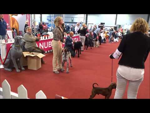 "Just a Curly Coated Retriever ""Dogshow Antwerpen 2015"""