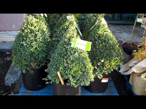 How to Create a Christmas Tree Bonsai Part I Plant Selection.mp4