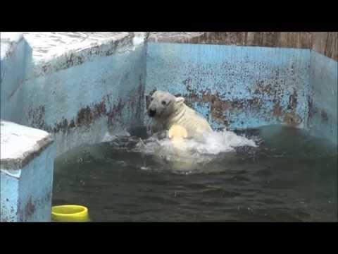 こぐまの転落 Polar Bear@Osaka Municipal Zoo(TENNOJI ZOO)