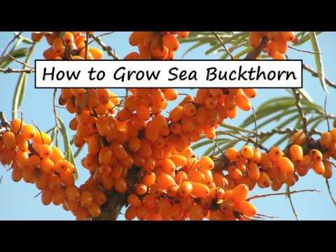 How to Grow Sea Buckthorn