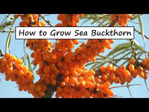 Easy trick to harvest seabuckthorn berries doovi - Growing sea buckthorn ...