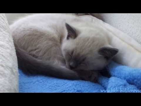 British Shorthair Kitten blue point